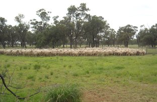 Picture of . BLUE RIBBON SHEEP COUNTRY -, Cunnamulla QLD 4490