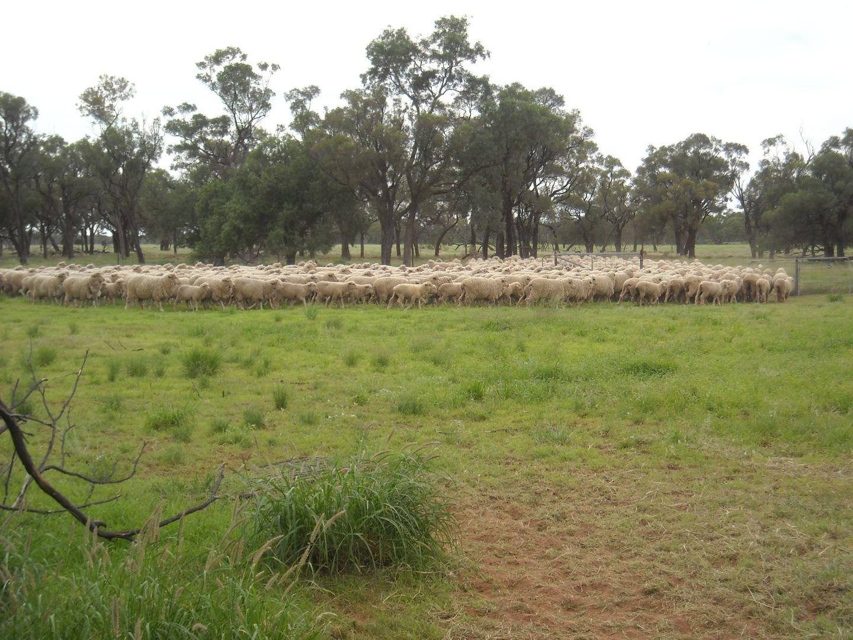 . BLUE RIBBON SHEEP COUNTRY -, Cunnamulla QLD 4490, Image 0