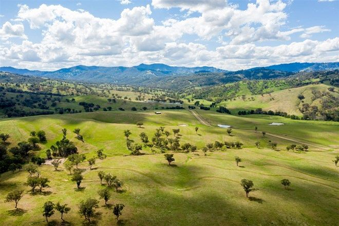 Picture of 'Timor Cattle', Timor Creek Rd, MURRURUNDI NSW 2338